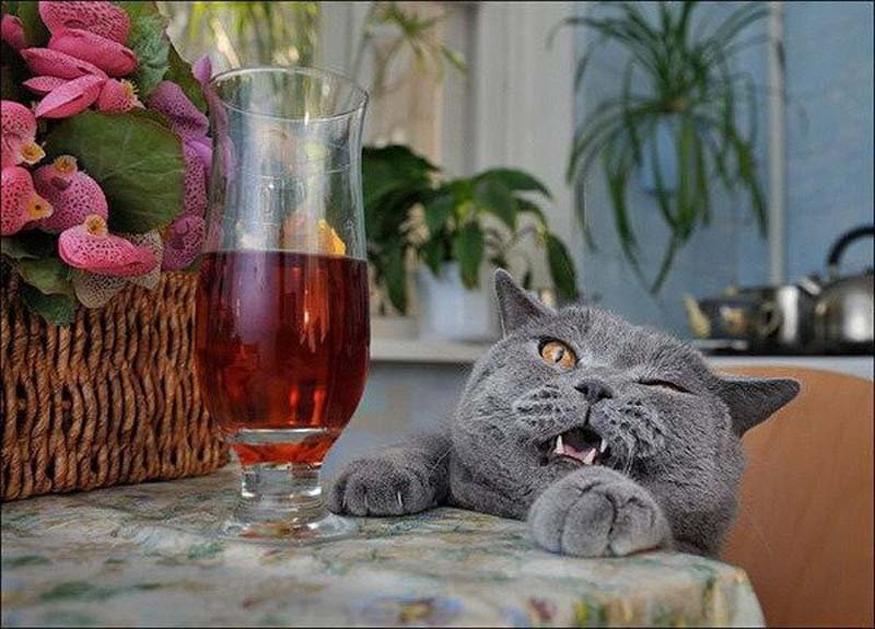 20-cats-that-need-to-stop-drinking-alcohol-9.jpg