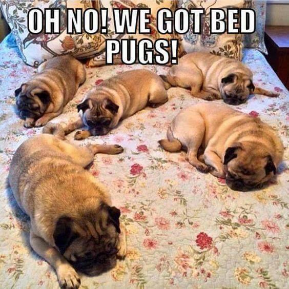Bed-Pugs.jpg